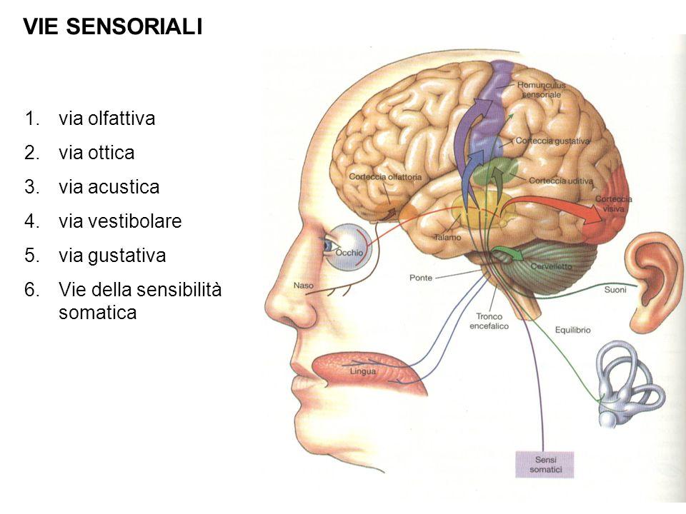 VIE SENSORIALI via olfattiva via ottica via acustica via vestibolare