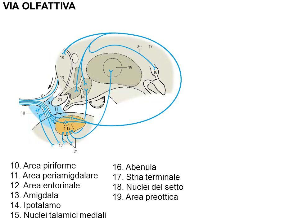 VIA OLFATTIVA 10. Area piriforme 16. Abenula 11. Area periamigdalare