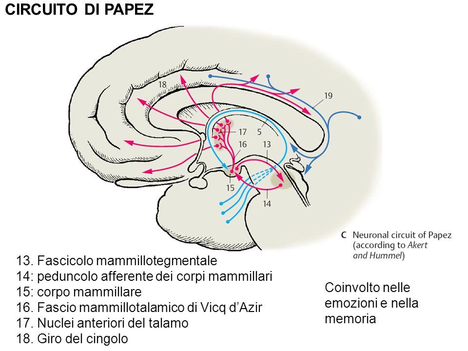 Circuito De Papez : Nervoso funzionale vie sensoriali ppt video online scaricare