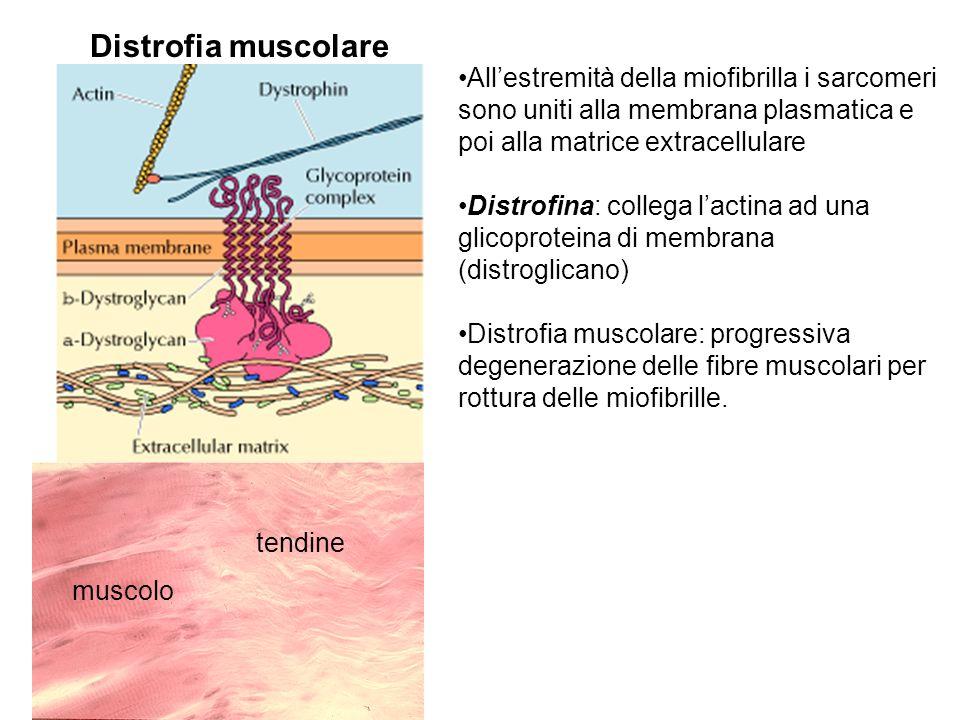 Distrofia muscolare All'estremità della miofibrilla i sarcomeri sono uniti alla membrana plasmatica e poi alla matrice extracellulare.