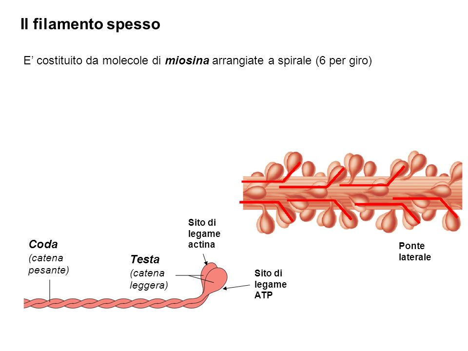 Il filamento spesso E' costituito da molecole di miosina arrangiate a spirale (6 per giro) Sito di legame actina.