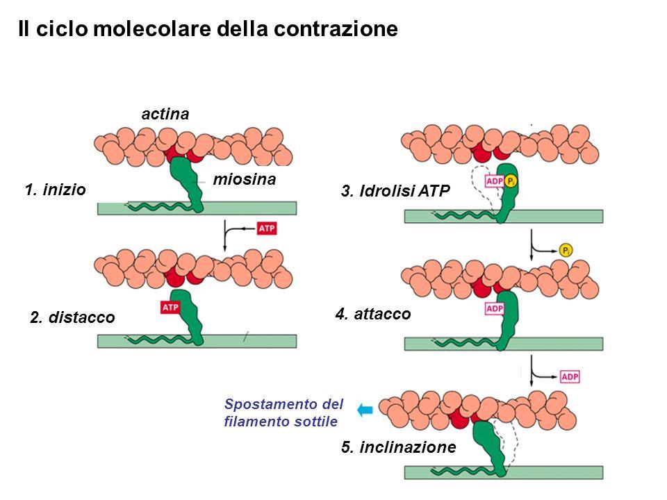 Il ciclo molecolare della contrazione