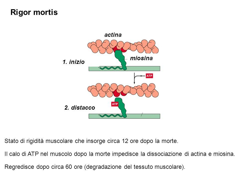 Rigor mortis actina miosina 1. inizio 2. distacco
