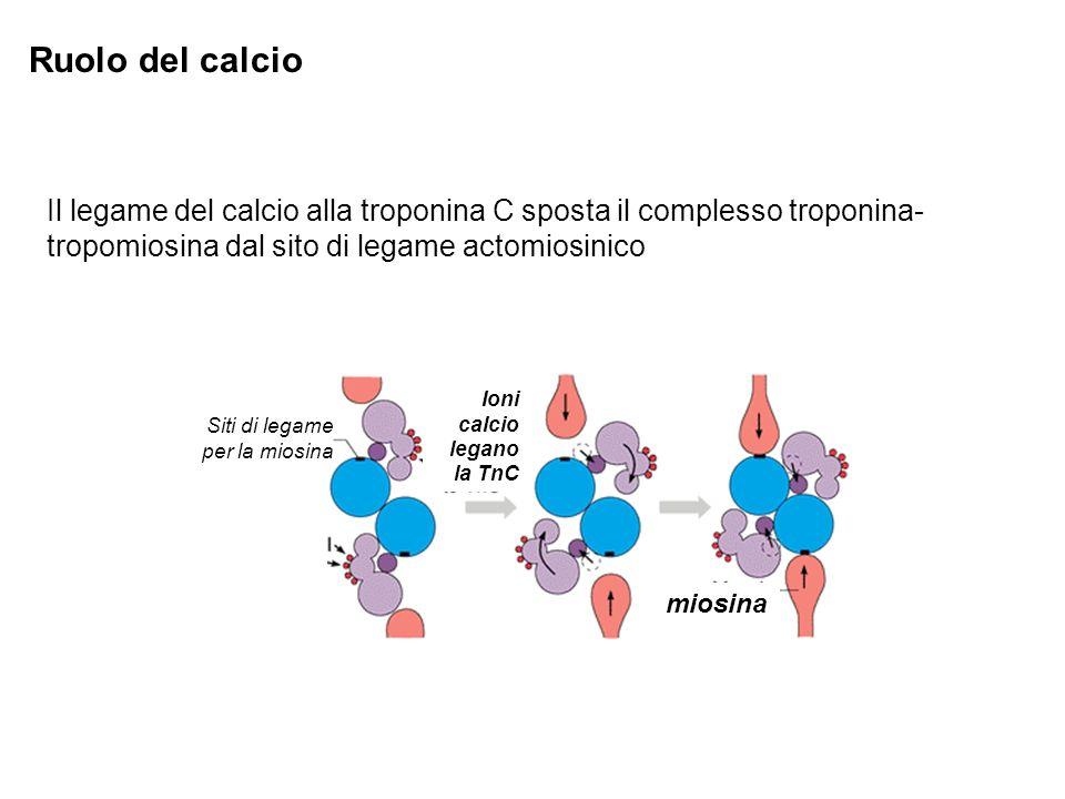 Ruolo del calcio Il legame del calcio alla troponina C sposta il complesso troponina-tropomiosina dal sito di legame actomiosinico.