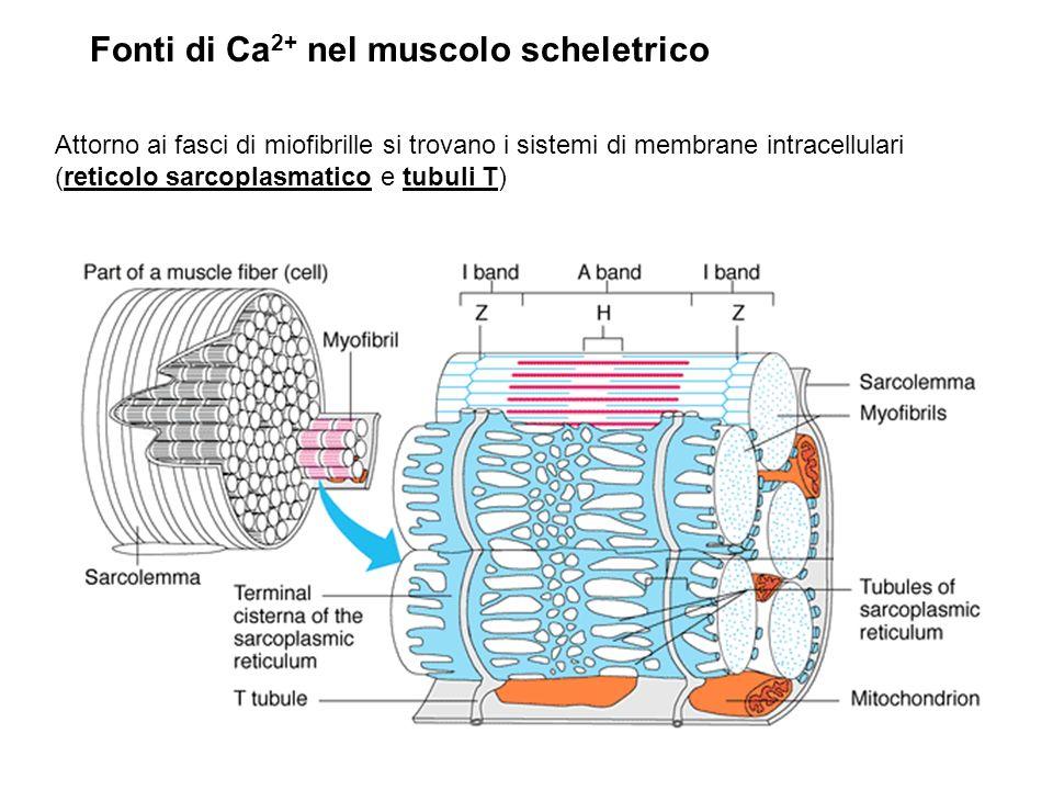 Fonti di Ca2+ nel muscolo scheletrico
