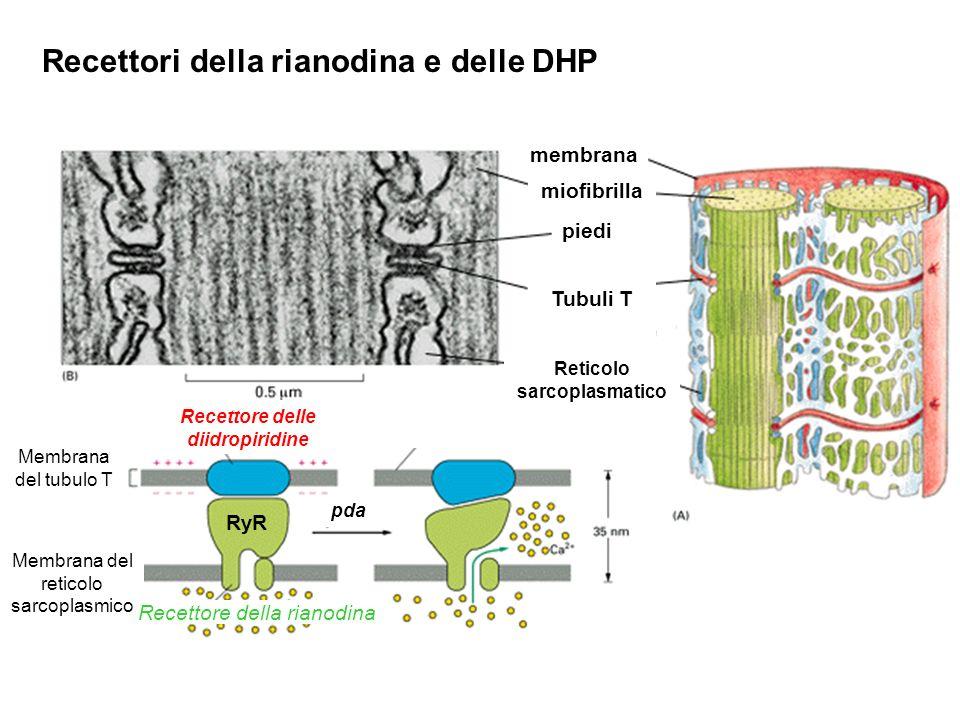 Recettori della rianodina e delle DHP