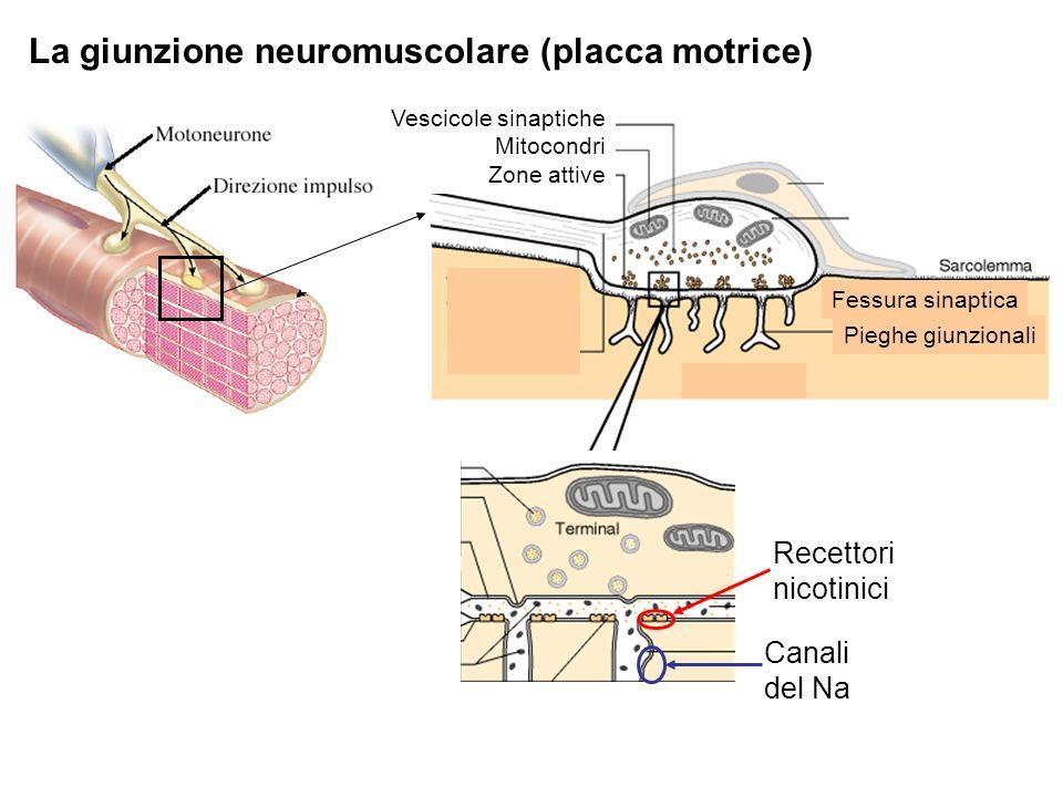 La giunzione neuromuscolare (placca motrice)