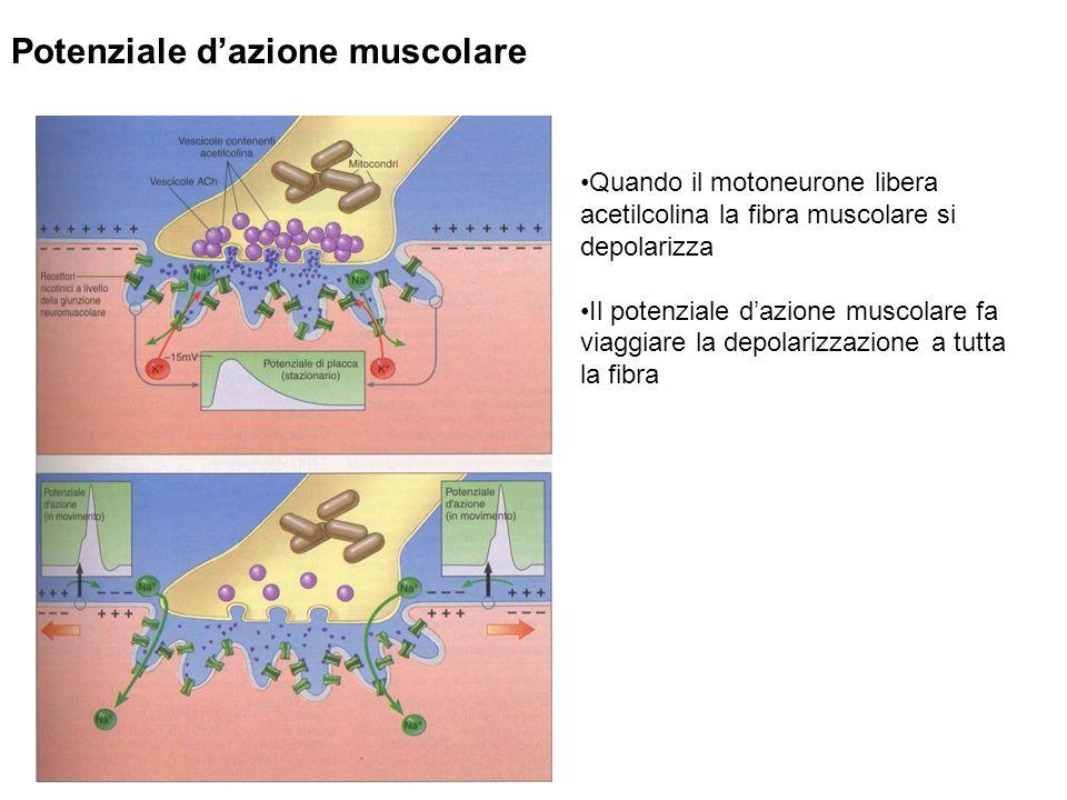 Potenziale d'azione muscolare