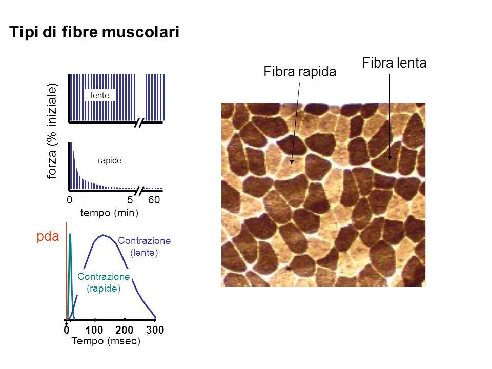 Tipi di fibre muscolari