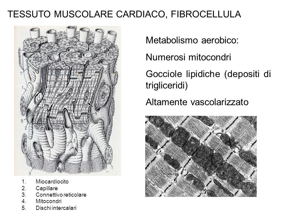 TESSUTO MUSCOLARE CARDIACO, FIBROCELLULA