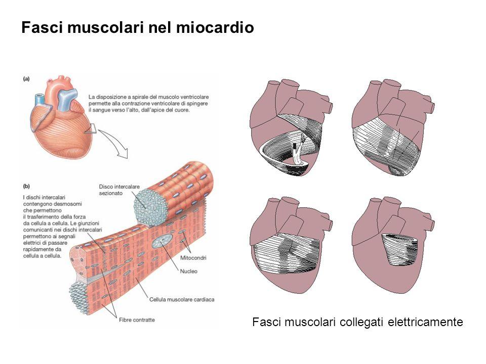 Fasci muscolari nel miocardio