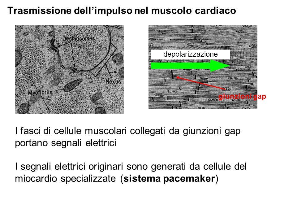 Trasmissione dell'impulso nel muscolo cardiaco