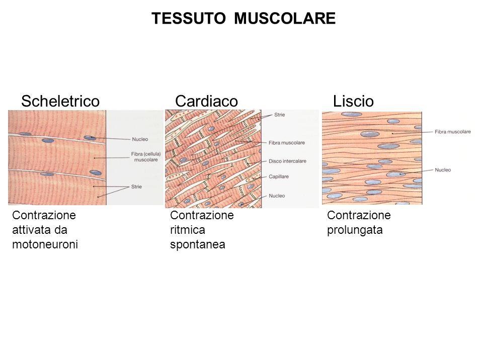 Scheletrico Cardiaco Liscio