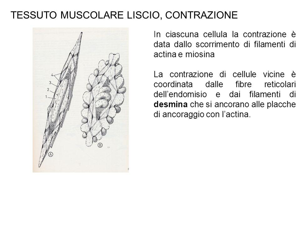 TESSUTO MUSCOLARE LISCIO, CONTRAZIONE