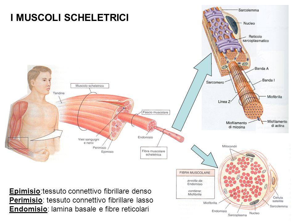 I MUSCOLI SCHELETRICI Epimisio:tessuto connettivo fibrillare denso