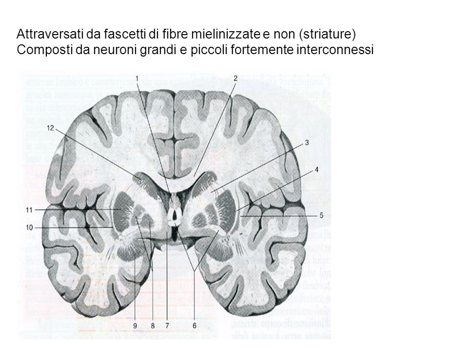 Attraversati da fascetti di fibre mielinizzate e non (striature)