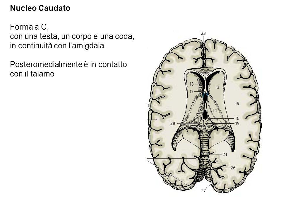 Nucleo Caudato Forma a C, con una testa, un corpo e una coda, in continuità con l'amigdala.