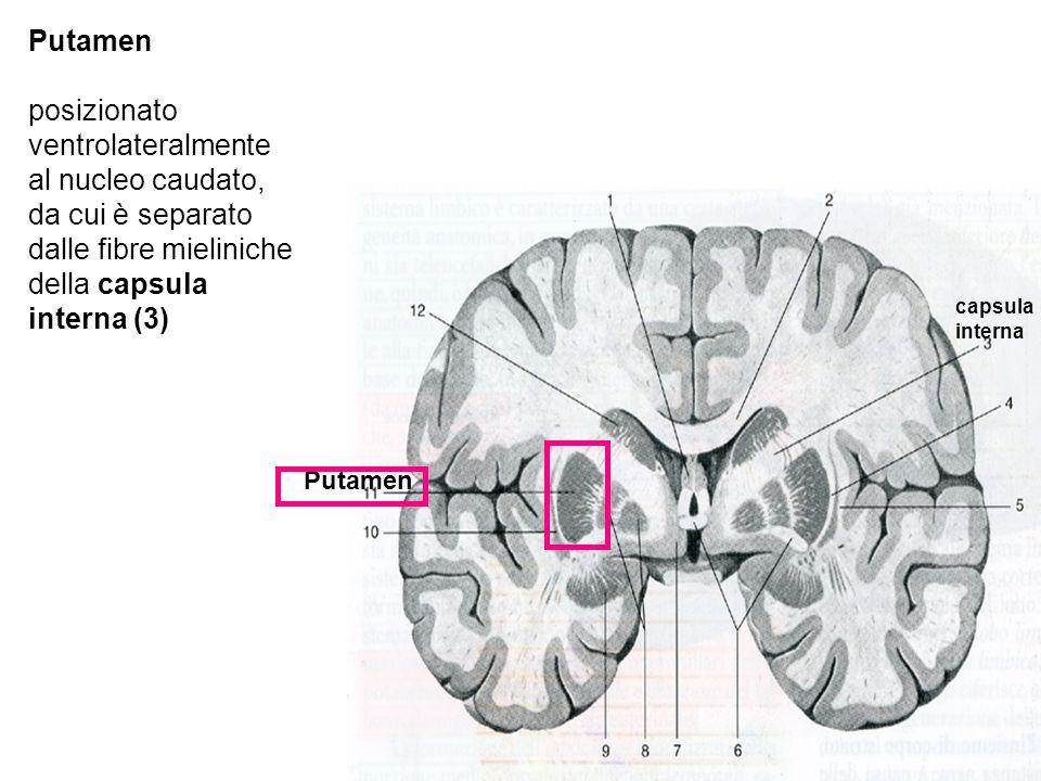 Putamen posizionato ventrolateralmente al nucleo caudato, da cui è separato dalle fibre mieliniche della capsula interna (3)