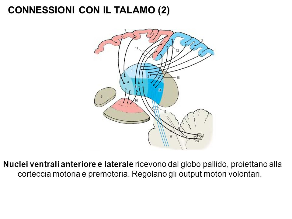 CONNESSIONI CON IL TALAMO (2)