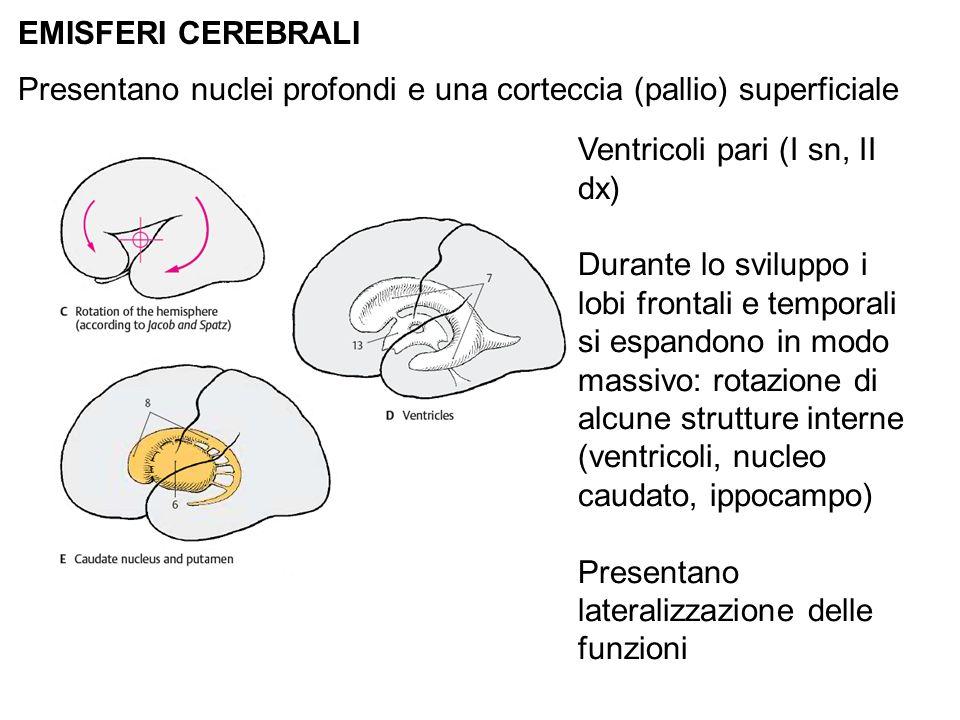 EMISFERI CEREBRALI Presentano nuclei profondi e una corteccia (pallio) superficiale. Ventricoli pari (I sn, II dx)