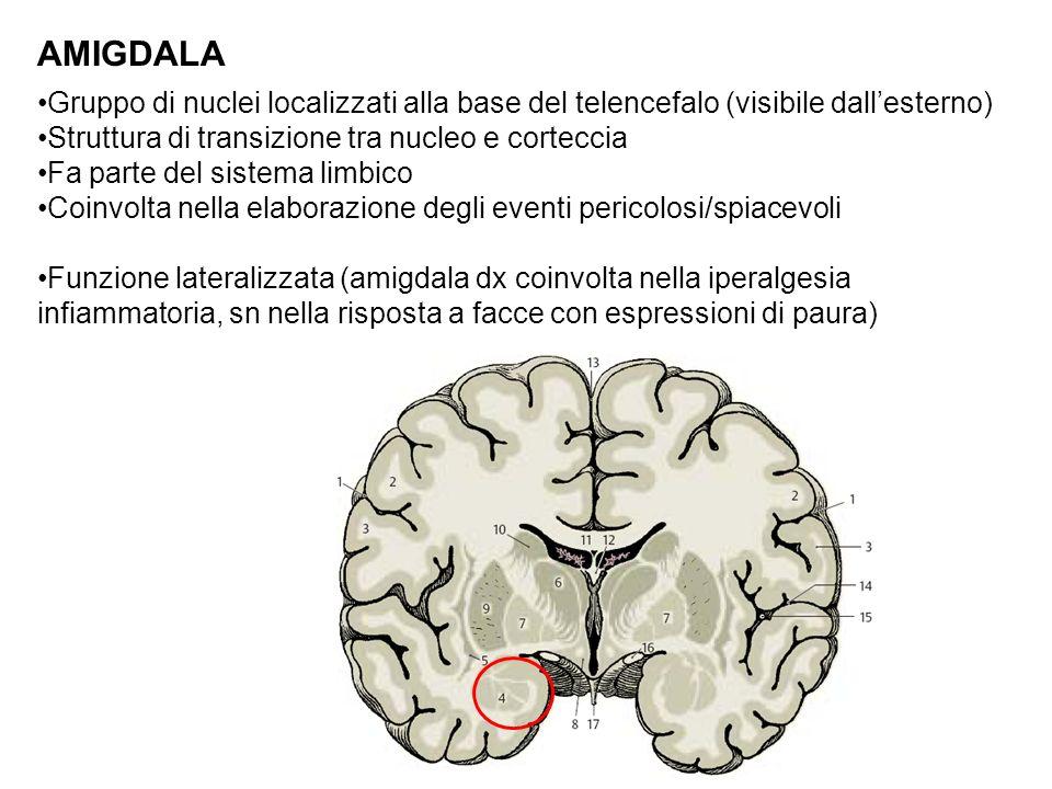 AMIGDALA Gruppo di nuclei localizzati alla base del telencefalo (visibile dall'esterno) Struttura di transizione tra nucleo e corteccia.