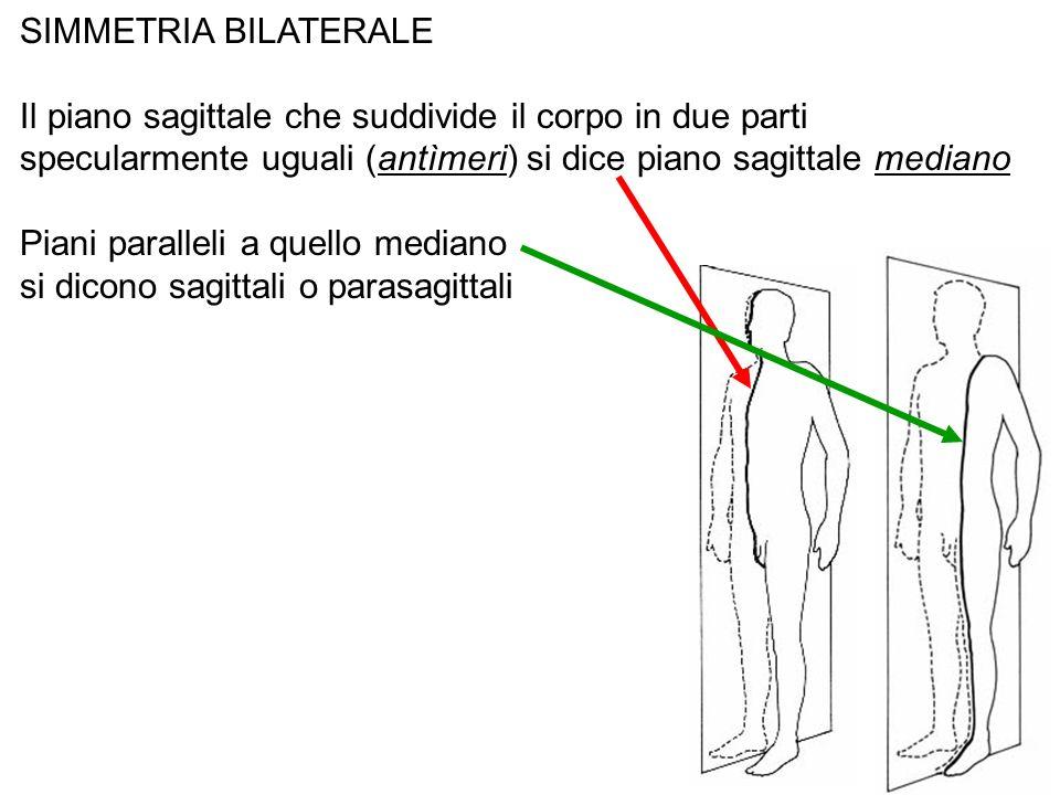SIMMETRIA BILATERALEIl piano sagittale che suddivide il corpo in due parti specularmente uguali (antìmeri) si dice piano sagittale mediano.