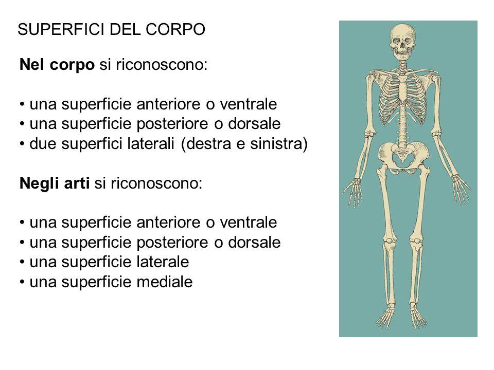 SUPERFICI DEL CORPONel corpo si riconoscono: una superficie anteriore o ventrale. una superficie posteriore o dorsale.