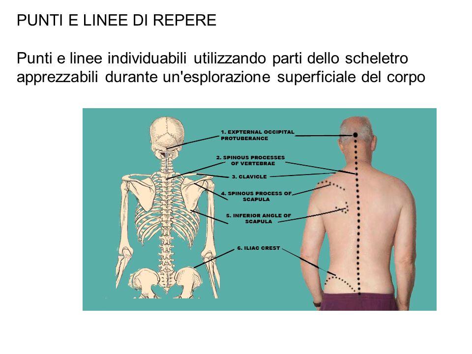 PUNTI E LINEE DI REPEREPunti e linee individuabili utilizzando parti dello scheletro apprezzabili durante un esplorazione superficiale del corpo.