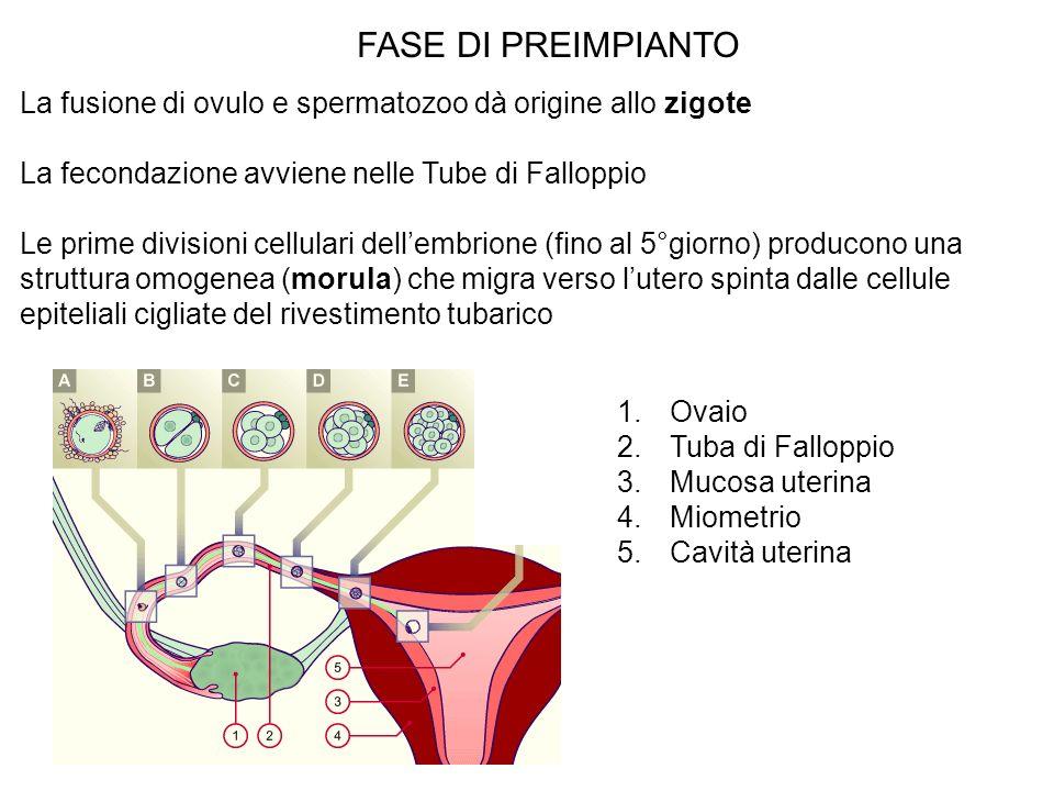 FASE DI PREIMPIANTOLa fusione di ovulo e spermatozoo dà origine allo zigote. La fecondazione avviene nelle Tube di Falloppio.