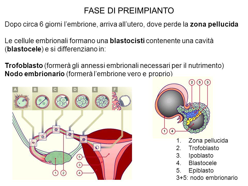 FASE DI PREIMPIANTODopo circa 6 giorni l'embrione, arriva all'utero, dove perde la zona pellucida.