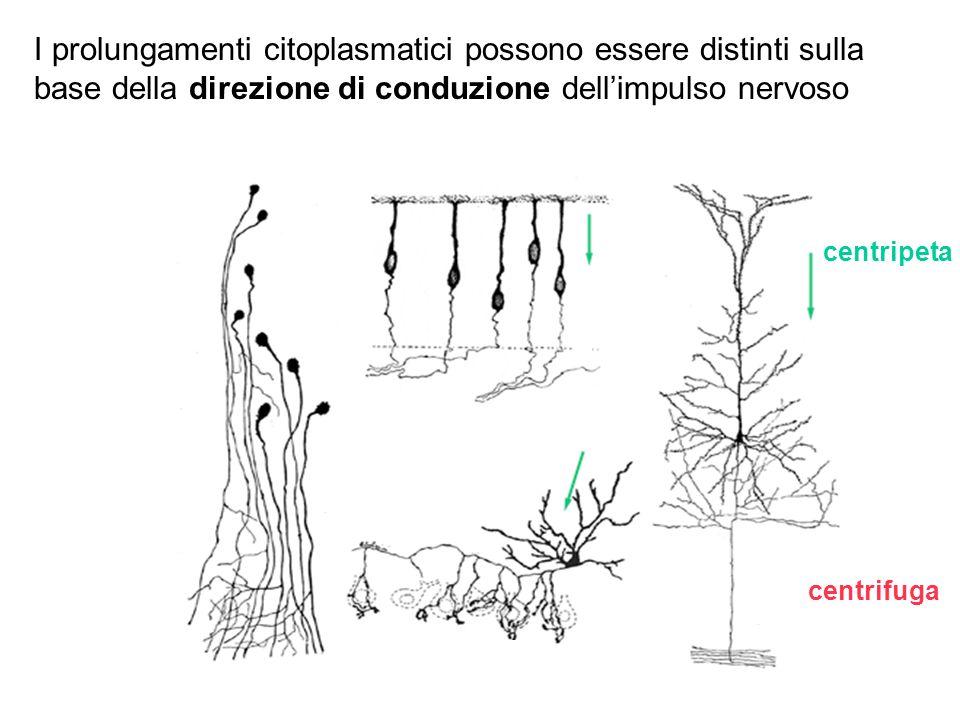 I prolungamenti citoplasmatici possono essere distinti sulla base della direzione di conduzione dell'impulso nervoso
