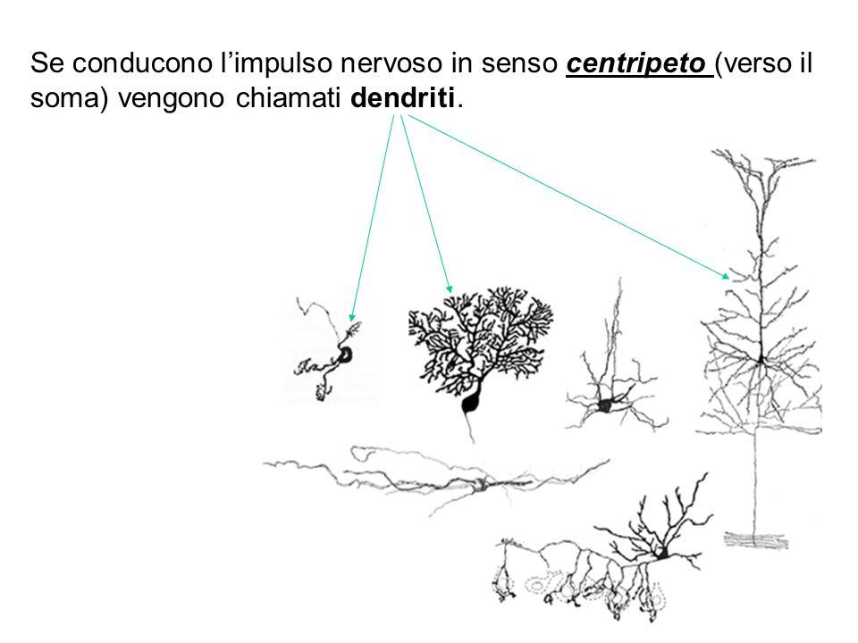 Se conducono l'impulso nervoso in senso centripeto (verso il soma) vengono chiamati dendriti.