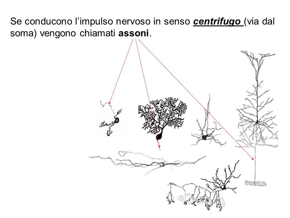 Se conducono l'impulso nervoso in senso centrifugo (via dal soma) vengono chiamati assoni.