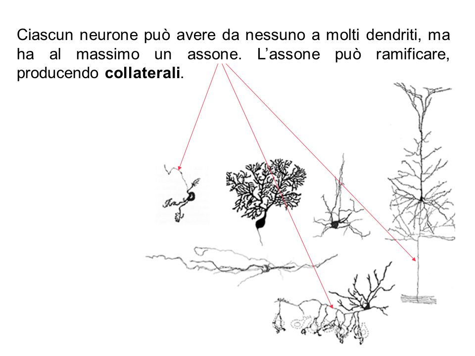Ciascun neurone può avere da nessuno a molti dendriti, ma ha al massimo un assone.