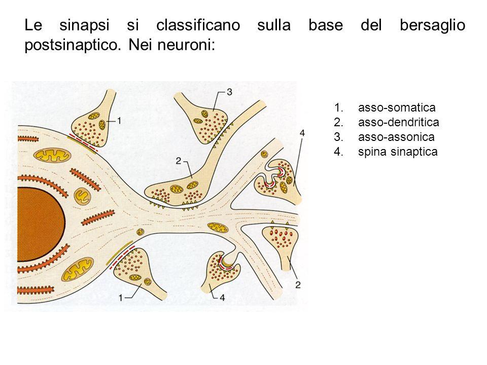 Le sinapsi si classificano sulla base del bersaglio postsinaptico