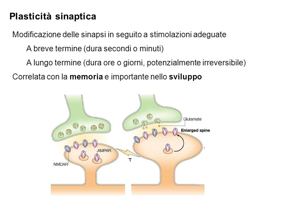 Plasticità sinapticaModificazione delle sinapsi in seguito a stimolazioni adeguate. A breve termine (dura secondi o minuti)