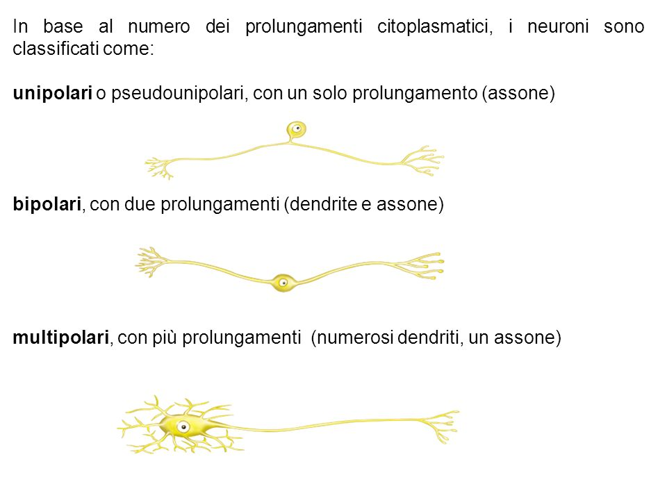 In base al numero dei prolungamenti citoplasmatici, i neuroni sono classificati come: