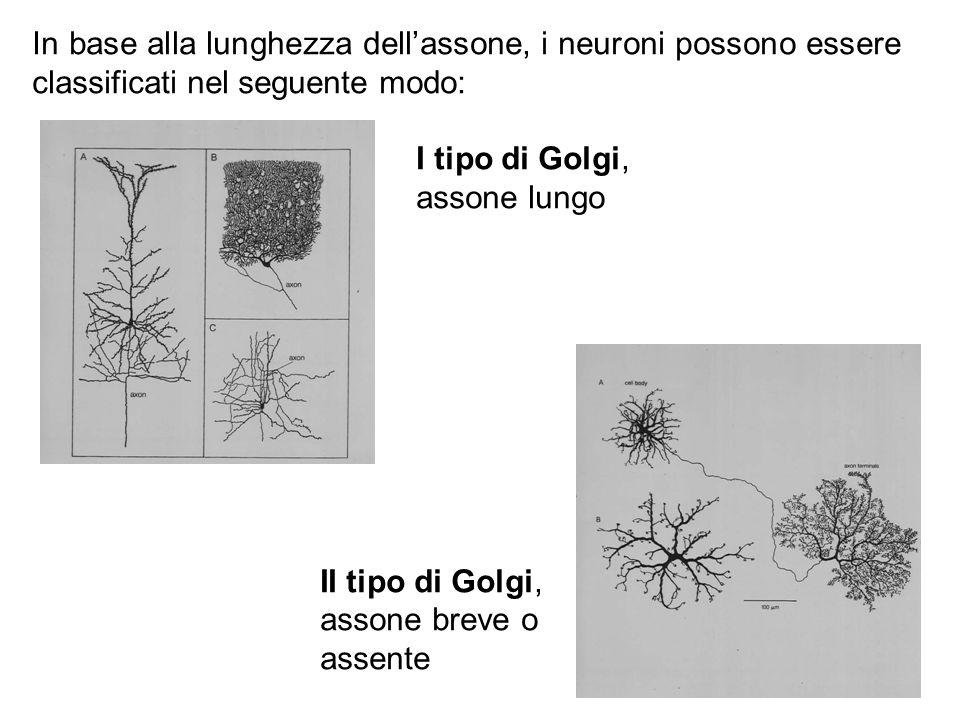 In base alla lunghezza dell'assone, i neuroni possono essere classificati nel seguente modo: