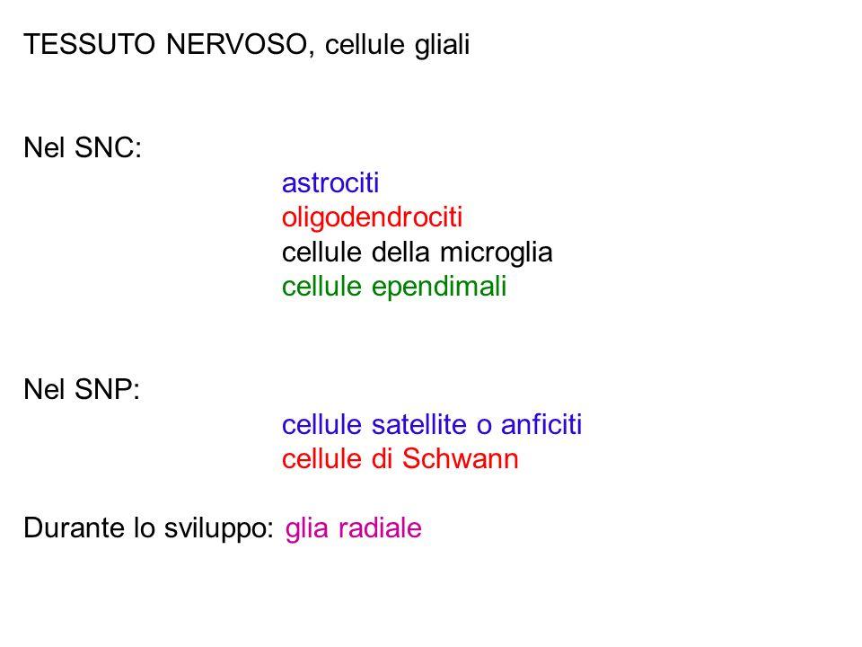 TESSUTO NERVOSO, cellule gliali