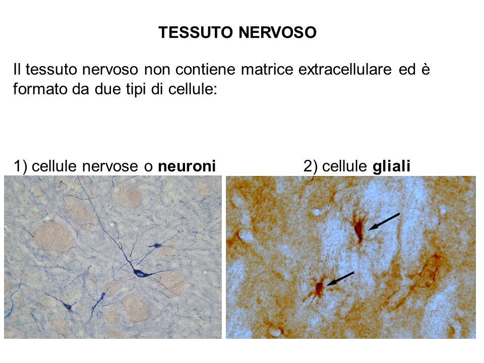TESSUTO NERVOSO Il tessuto nervoso non contiene matrice extracellulare ed è formato da due tipi di cellule: