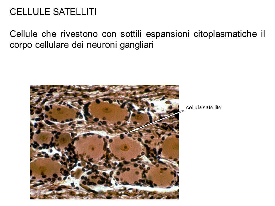CELLULE SATELLITI Cellule che rivestono con sottili espansioni citoplasmatiche il corpo cellulare dei neuroni gangliari.