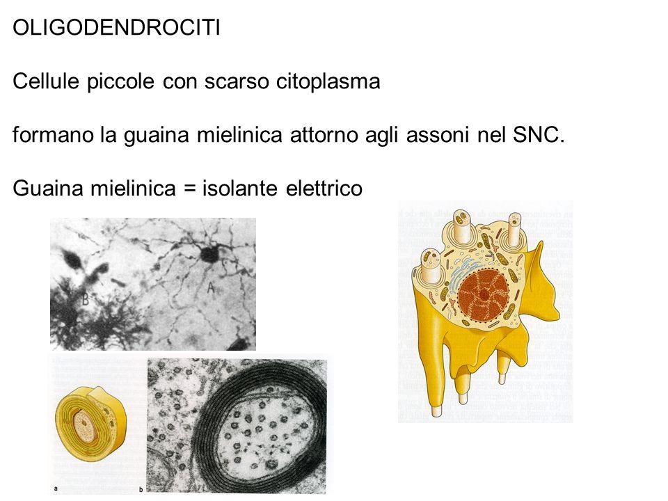 OLIGODENDROCITICellule piccole con scarso citoplasma. formano la guaina mielinica attorno agli assoni nel SNC.