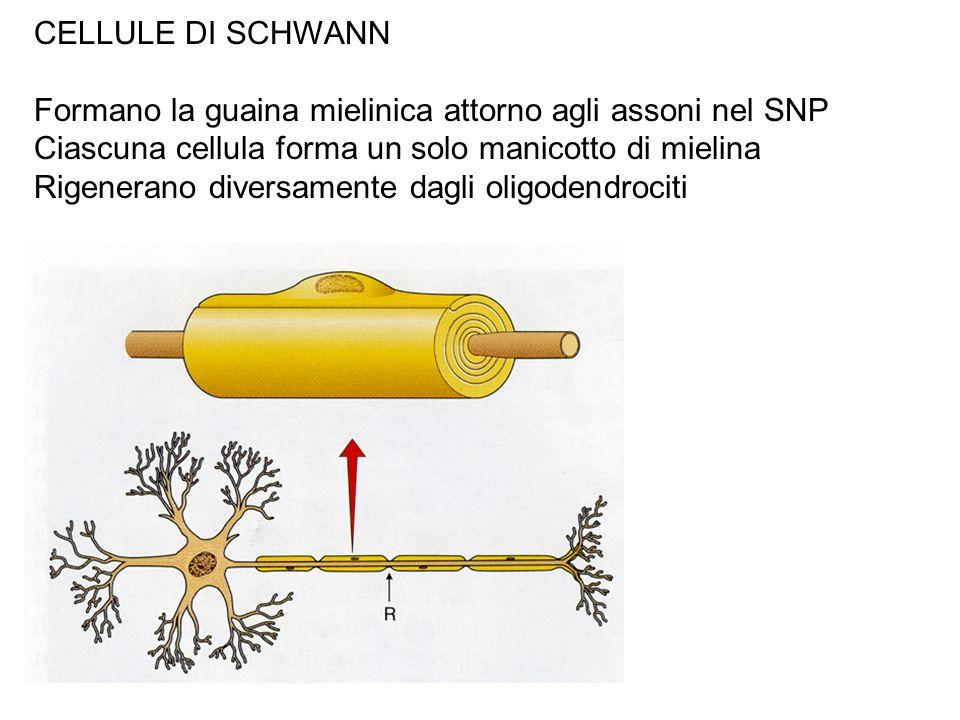 CELLULE DI SCHWANN Formano la guaina mielinica attorno agli assoni nel SNP. Ciascuna cellula forma un solo manicotto di mielina.