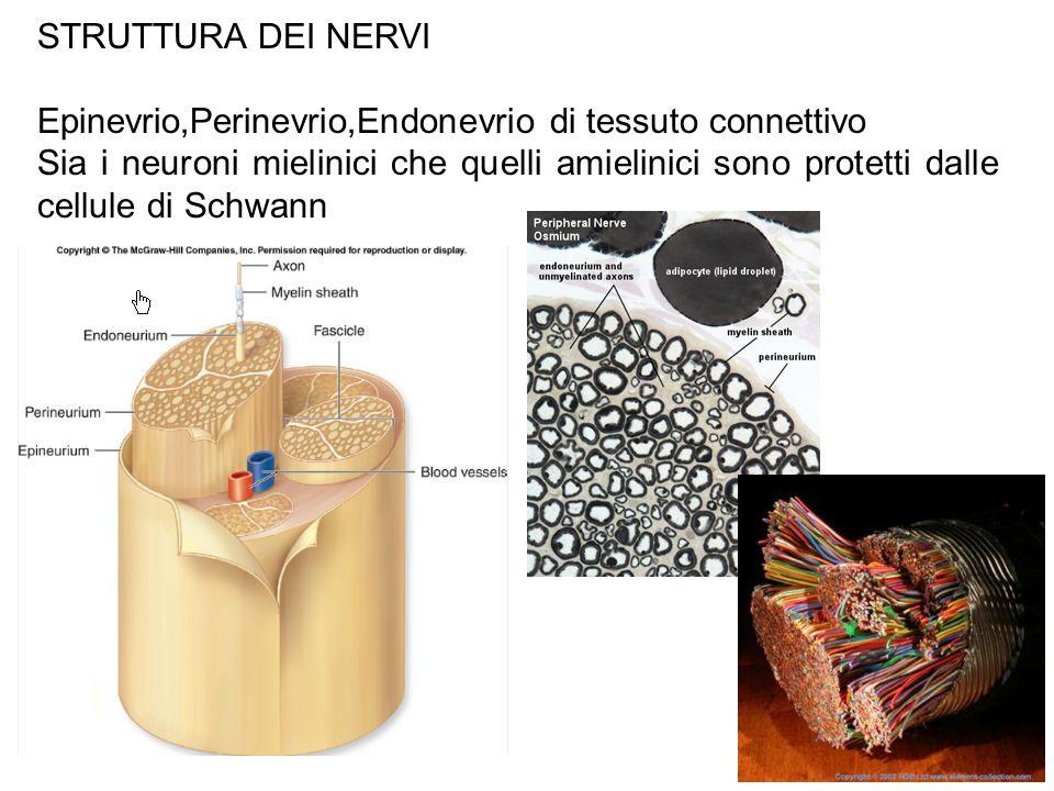 STRUTTURA DEI NERVI Epinevrio,Perinevrio,Endonevrio di tessuto connettivo.
