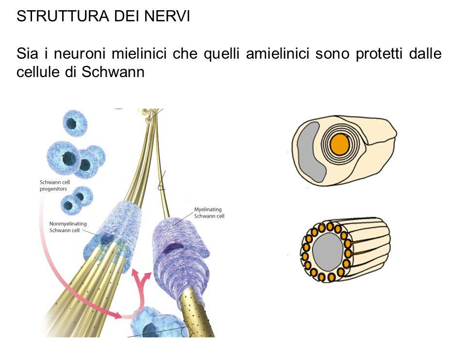 STRUTTURA DEI NERVI Sia i neuroni mielinici che quelli amielinici sono protetti dalle cellule di Schwann.