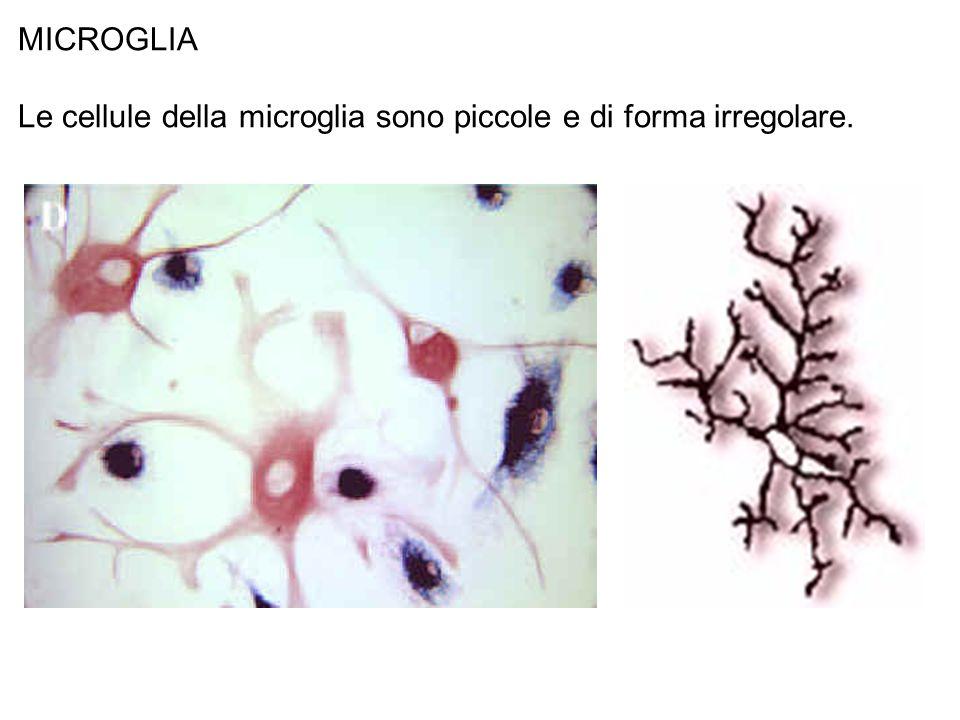 MICROGLIA Le cellule della microglia sono piccole e di forma irregolare.