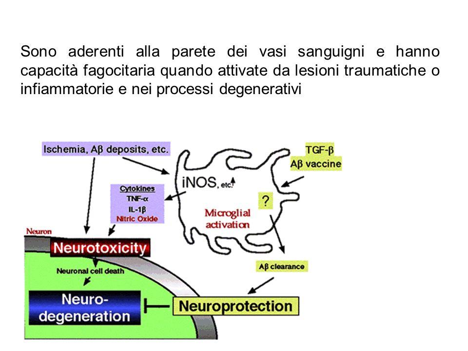 Sono aderenti alla parete dei vasi sanguigni e hanno capacità fagocitaria quando attivate da lesioni traumatiche o infiammatorie e nei processi degenerativi