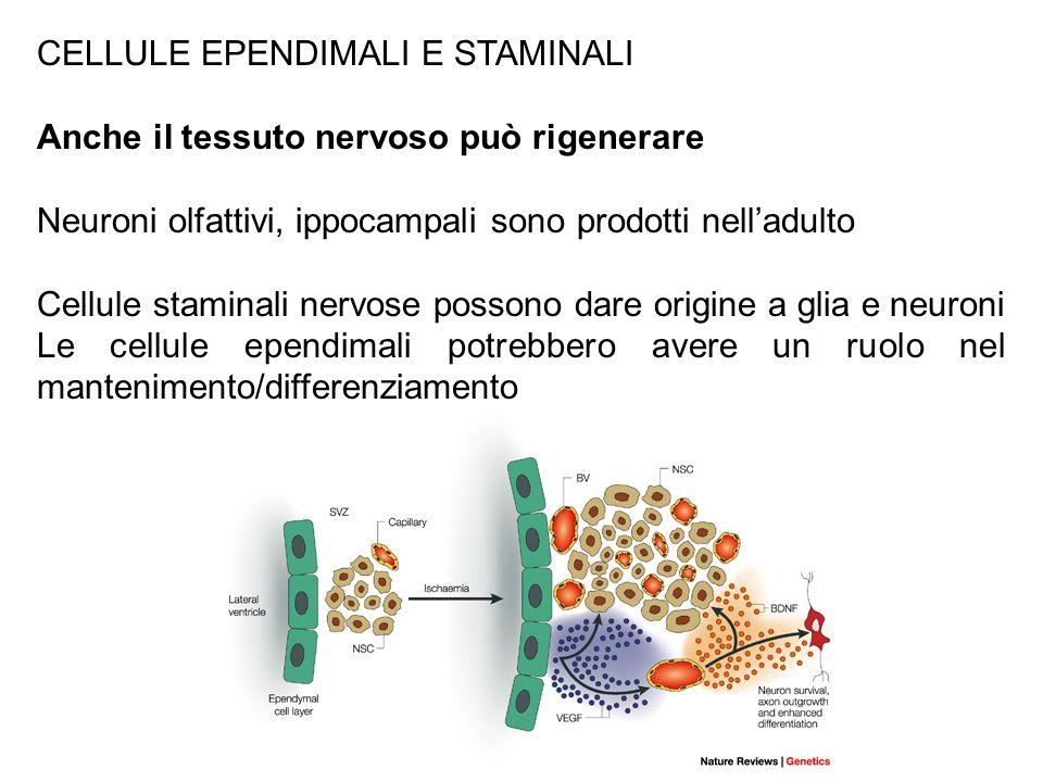 CELLULE EPENDIMALI E STAMINALI