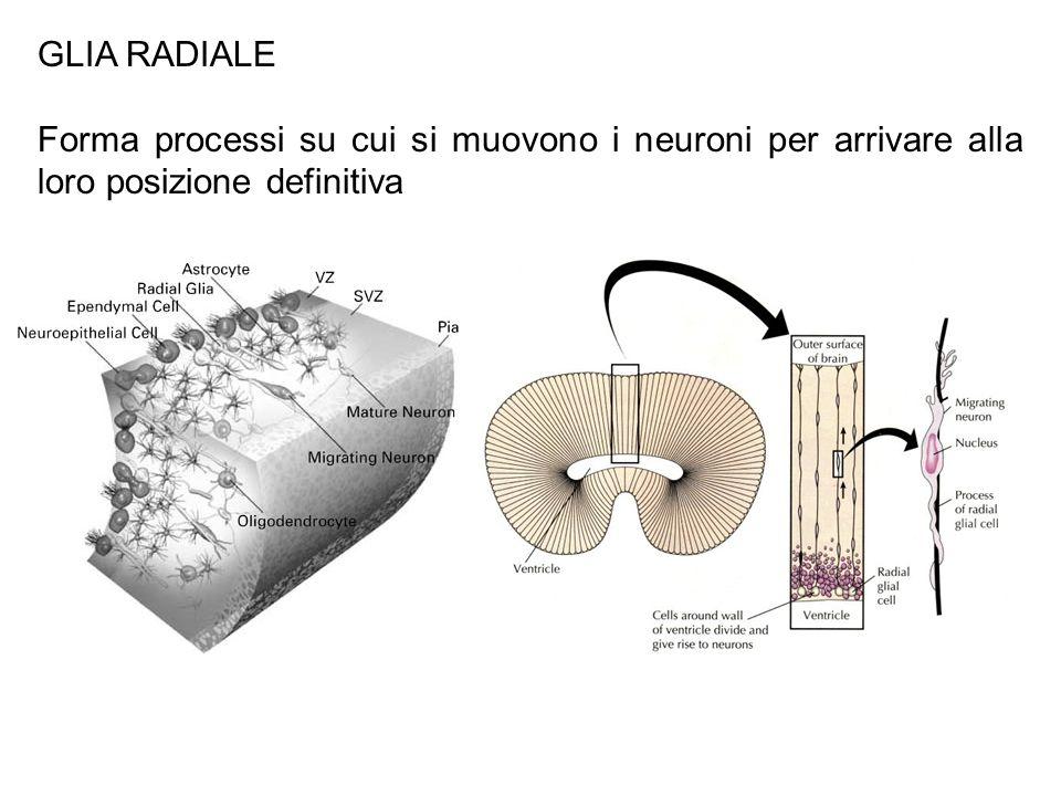 GLIA RADIALE Forma processi su cui si muovono i neuroni per arrivare alla loro posizione definitiva