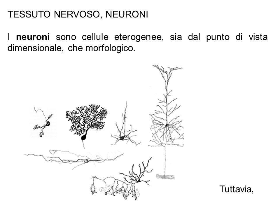 TESSUTO NERVOSO, NEURONI
